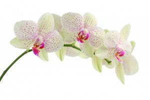 orchid-flower1